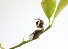 swallowtail гиганта гусеницы стоковое фото rf