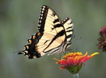 Swallowtail тигра на zinnia Стоковое Изображение
