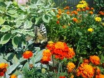 Swallowtail蝴蝶和花在庭院里 图库摄影