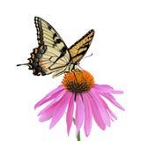 Swallowtail蝴蝶和Coneflower 免版税图库摄影