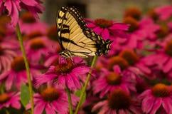 Swallowtail蝴蝶和Coneflowers 免版税库存图片