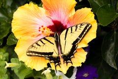 Swallowtail蝴蝶在一棵热带木槿植物登陆 库存照片