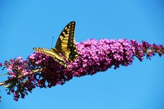 Swallowtail蝴蝶在夏天 免版税图库摄影