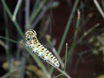 黑Swallowtail蝴蝶的毛虫 图库摄影