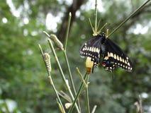 黑Swallowtail蝴蝶的生命周期 免版税图库摄影