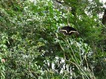 黑Swallowtail蝴蝶的生命周期 免版税库存图片