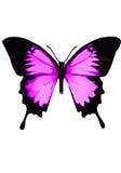 Swallowtail蝴蝶,在白色背景的蝴蝶桃红色 免版税库存图片