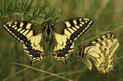 Swallowtail蝴蝶, Papilio machaon 免版税库存图片