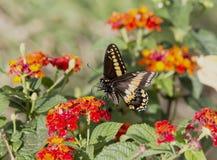 黑Swallowtail蝴蝶, Papilio polyxenes 库存图片