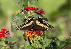 黑Swallowtail蝴蝶, Papilio polyxenes 图库摄影