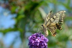 Swallowtail蝴蝶 免版税库存照片