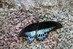 Swallowtail蝴蝶Polymnestor在1月 印度 国家的喀拉拉 免版税库存图片