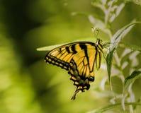 swallowtail arkivbild