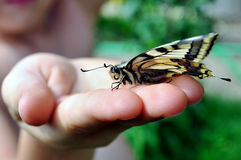 Swallowtail Stock Images