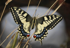 Swallowtail Royalty Free Stock Photography