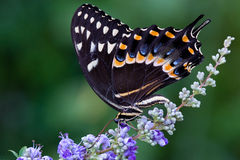 Swallowtail photographie stock