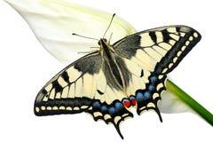 Free Swallowtail Stock Photo - 16349770