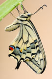 Swallowtail Stock Photos