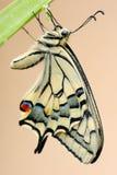 Swallowtail Stockfotos