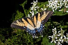 Swallowtail Fotografia Stock Libera da Diritti