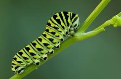 Swallowtail stock foto