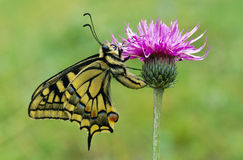 Swallowtail Stockfotos