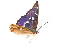 Swallowtail Fotografía de archivo