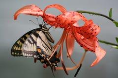 swallowtail 免版税库存照片