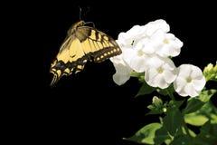 Swallowtail Stock Photo