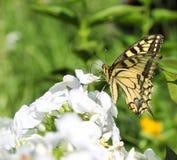Swallowtail Royalty Free Stock Image