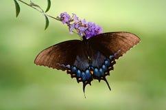 东部老虎Swallowtail蝴蝶 库存图片