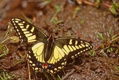 Swallowtail royaltyfri fotografi