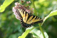 Swallowtail 3 Stock Photo