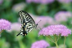 Swallowtail 库存照片