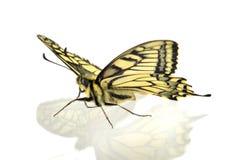 Swallowtail arkivfoto