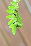 亚洲swallowtail 免版税库存图片