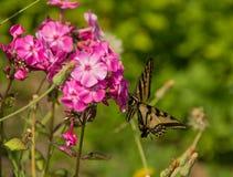 Swallowtail蝴蝶 免版税库存图片