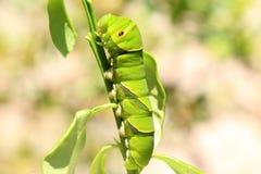 亚洲swallowtail 库存照片