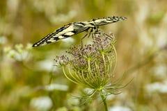 swallowtail Immagine Stock Libera da Diritti