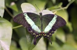 鲜绿色Swallowtail、鲜绿色孔雀或者绿色被结合的孔雀 库存照片