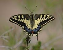 swallowtail zdjęcia stock