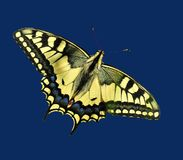 Swallowtail. Papilio machaon butterfly on clover flower.  One of europe's largest and most spectacular butterflies. It grows up to 10cm and has quite a presence Royalty Free Stock Photo