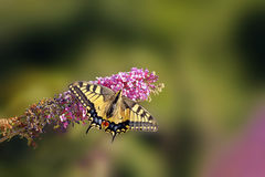 swallowtail Fotografia de Stock Royalty Free