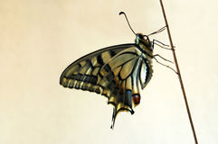 swallowtail Obrazy Royalty Free