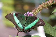 Swallowtail Foto de Stock Royalty Free