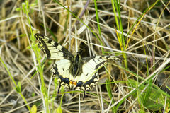 swallowtail Images libres de droits