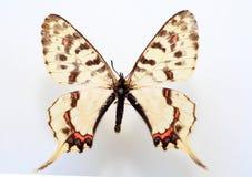 龙swallowtail 库存图片