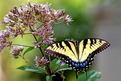 swallowtail imagem de stock royalty free