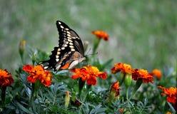 swallowtail Στοκ φωτογραφία με δικαίωμα ελεύθερης χρήσης