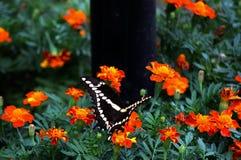 Swallowtail Β Στοκ Εικόνα